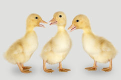 Three duckling Royalty Free Stock Photography