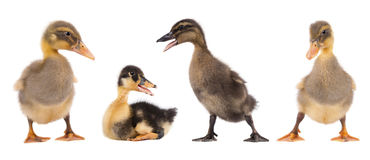 Three duckling isolated on white background. Collage. Three duckling together isolated on white background Royalty Free Stock Photos