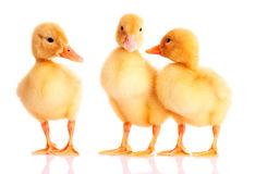 Three ducklings Stock Photography