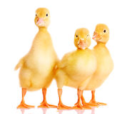 Three ducklings Royalty Free Stock Photo