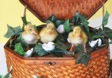 Three Ducklings in a Basket Stock Photo