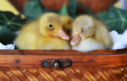 Three Ducklings in a Basket. Three ducklings sleeping in a basket with broken eggshells Stock Images