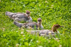 Wild ducklings in nature. Three  ducklings with brown colored heads  sitting in  a grass meadow  with clover in flower Royalty Free Stock Photos