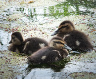 Three ducklings Royalty Free Stock Image