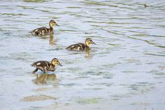 Three ducklings. Of Common Mallard in river. Scientific name: Anas platyrhynchos Stock Photography