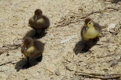 Three ducklings Royalty Free Stock Photography