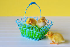 Three Ducklings with an Easter Basket Royalty Free Stock Photography