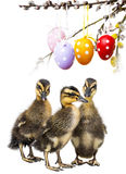 Three ducklings. And easter eggs Royalty Free Stock Images