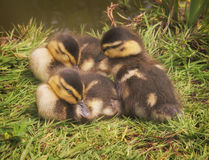Three Ducklings on Grass Stock Images