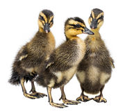 Three ducklings Royalty Free Stock Photos