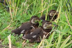 Ducklings. Three ducklings on the shore of a pond in the grass Stock Photography