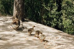 Three ducklings with their mother in the park stock photo