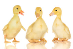 Three ducklings on white stock photo