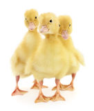 Three ducklings Stock Photos