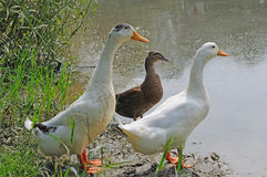 Three ducks. Stand on the bank Stock Photography
