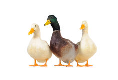 Three ducks Royalty Free Stock Photography