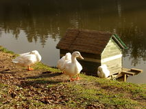 Three Ducks. By water's edge Royalty Free Stock Image