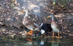 Three ducks adult male walking near the pond. Stock Photo