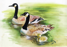 Three Ducks with black Necks.  Watercolor painting of three gray ducks with black necks swimming in a pond Stock Photos