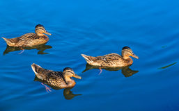 Three ducks on blue water. Three young ducks floating on blue water Royalty Free Stock Images