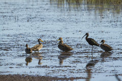 Three ducks and Carau Royalty Free Stock Images