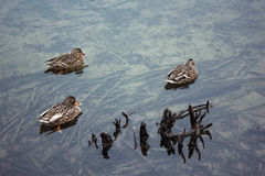 Three ducks in crystal clear lake Stock Photo