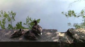 Three ducks. Family of three ducks sitting on the water brink stock video