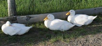 Three Ducks Royalty Free Stock Photos