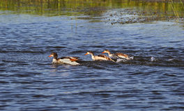 Three ducks Royalty Free Stock Images