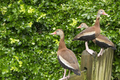 Three ducks on the fence. Three ducks standing on the edge of the wood fence. one duck looking to the right side and two ducks looking at the left. they have Stock Photo