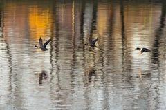 Three ducks in flight Stock Photos