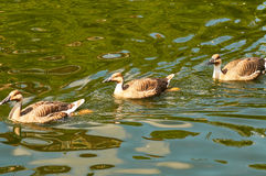 Three ducks float in a pond Royalty Free Stock Photo