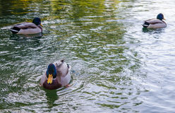 Three ducks floating. A duck looking at you with two other ducks on the background on a lake Stock Photography