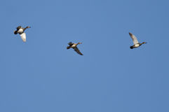 Three Ducks Flying in a Blue Sky Stock Images