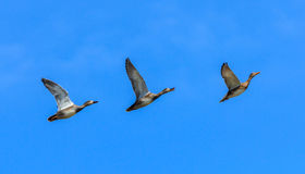 Three ducks flying in a row. Three gadwal Anas strepera ducks flying in a row Royalty Free Stock Photo