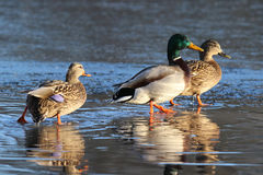 Three Ducks on a Frozen Lake in Winter. Three mallard ducks strolling on a frozen lake in winter the male is between the two female ducks Stock Photos
