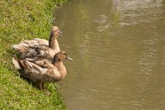 Three ducks on a green lawn and are about to play water royalty free stock photos