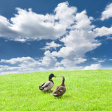 Three ducks on a green meadow under a cloudy sky Royalty Free Stock Image