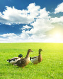 Three ducks on a green meadow under a cloudy sky Stock Images