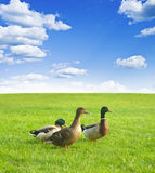 Three ducks on a green meadow under a cloudy sky Royalty Free Stock Photos