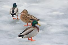 Three ducks on an ice-covered river royalty free stock images