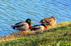 Three ducks by the lake royalty free stock image