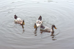 Three ducks on a lake Stock Photo