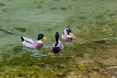 Three ducks in a lake Stock Images