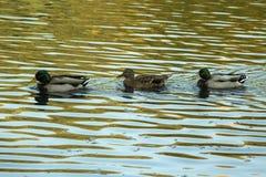 Three ducks in the lake. ` Two Ordinary male ducks mallard and one female Stock Photography