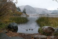 Three ducks making their way across the water in a lake on a fall day. In the Sierra Nevada Royalty Free Stock Photography