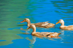 Three ducks move on water. On sunny day Royalty Free Stock Image