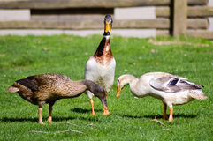 Three ducks pecking. On a green meadow in a wildlife park in France royalty free stock photos
