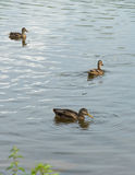 Three ducks in a pond. Stock Photos