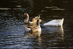 Three Ducks In The Water. Three ducks on a pond, one has his head under water Royalty Free Stock Photo